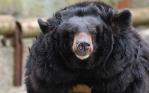 Picture wildlife, bokeh, Himalayan bear