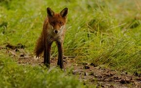 Picture grass, blur, Fox, red