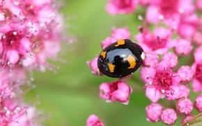 Picture macro, flowers, ladybug, beetle, Wallpaper from lolita777