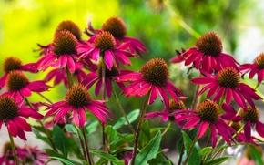 Wallpaper flowers, red, flowerbed, Echinacea