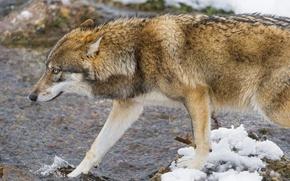 Picture water, snow, wolf, profile, ©Tambako The Jaguar