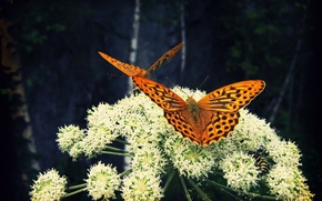 Picture flower, butterfly, insects, nature, Larisa Koshkina