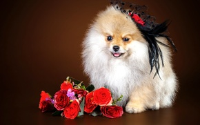 Picture flowers, girl, Spitz