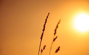 Picture the sky, the sun, light, nature, plant, ear, stem