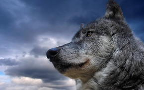 Wallpaper animal, the sky, wolf