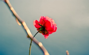 Wallpaper beauty, perfectionism, loneliness, rose
