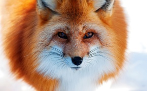 Picture nose, Fox, snow, red, winter