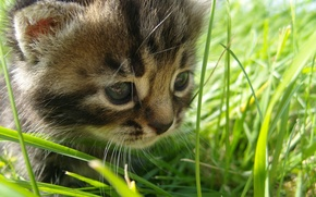 Picture summer, grass, nature, walk, kitty, the beauty