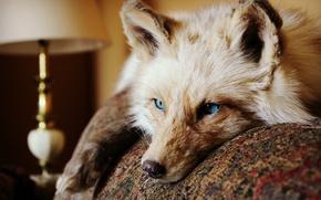 Picture eyes, look, animal, Fox, lies, ears. wool