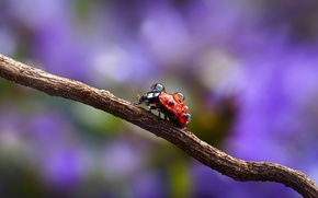 Picture drops, macro, Rosa, sprig, ladybug, Wallpaper from lolita777