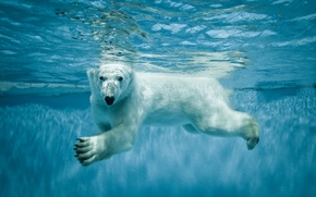 Picture Water, White, Bear, Animals