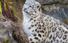 Picture cat, look, kitty, IRBIS, snow leopard, ©Tambako The Jaguar
