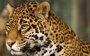 Picture cat, Jaguar, spot, jaguar