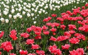 Picture flowers, widescreen, Wallpaper, Tulip, tulips, wallpaper, widescreen, background, the Wallpapers, full screen, HD wallpapers, widescreen, ...