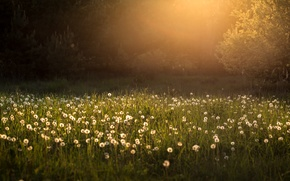 Picture light, morning, dandelions