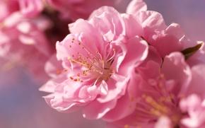 Picture flower, macro, flowers, pink, tenderness, spring, Sakura, blur, bright