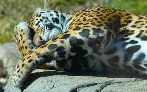 Picture the sun, paws, lies, Jaguar, animal .predator, face. nature