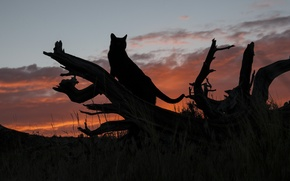 Picture cat, sunset, silhouette, log