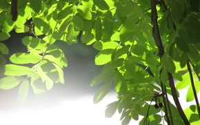 Picture leaves, the sun, green, glare, tree, green, Nature, tree, sun, foliage