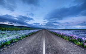 Picture flowers, meadows, Iceland, Lupin, road, horizon, Iceland
