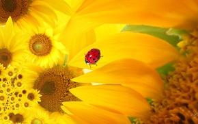 Picture macro, flowers, collage, ladybug, sunflower, petals