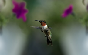Picture greens, macro, flight, flowers, bird, blur, Hummingbird