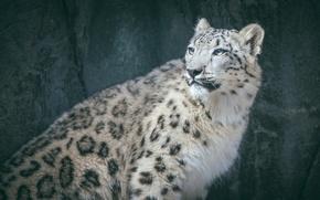 Picture predator, spot, fur, IRBIS, snow leopard, wild cat