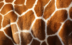Picture white, pattern, color, giraffe, Brown, skin