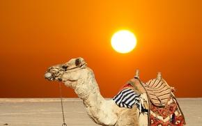Picture sand, summer, the sun, desert, camel, hot, heat