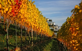 Picture autumn, leaves, house, slope, vineyard