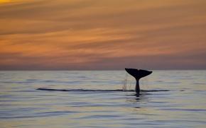 Picture pacific ocean, sunset, fluke, killer whale, orca