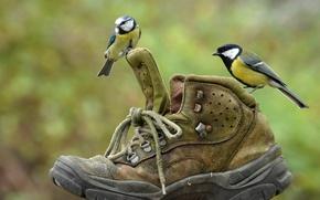 Picture birds, pair, shoes, Tits, Shoe