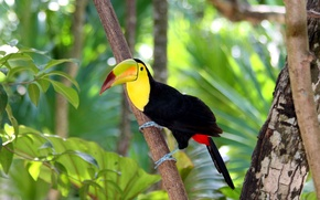 Picture tree, branch, forest, bird, nature, beak, Toucan