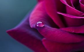 Wallpaper flower, macro, Rose, petals, red, drop, Burgundy