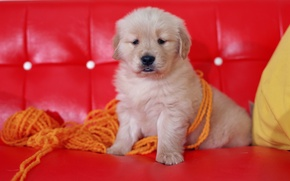 Picture red, sofa, dog, puppy, thread, yarn, Wallpaper from lolita777