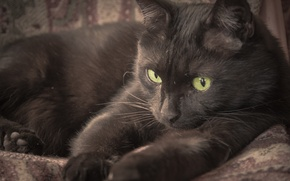 Picture black, eyes, cat