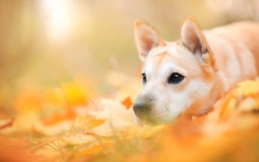 Picture dog, animal, nature, dog, face, autumn, leaves
