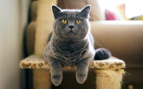 Picture cat, grey, British