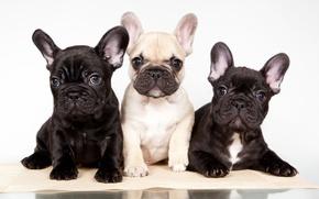 Picture puppies, trio, French bulldog