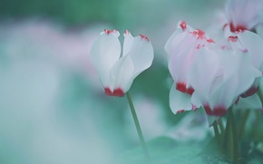 Picture macro, flowers, green, gently, blurry, cyclamen, cyclamen, Wallpaper from lolita777, white with red