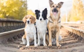 Picture dogs, railroad, Shepherd, trio, Trinity, The border collie, Beagle