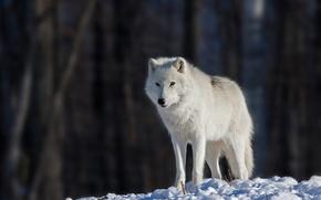 Picture eyes, snow, eyes, snow, bokeh, bokeh, white wolf, white wolf