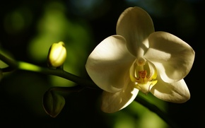 Picture white, flower, macro, shadow, petals, Orchid