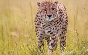 Picture grass, predator, Cheetah, wild cat