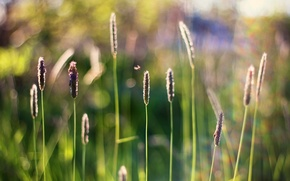 Picture grass, insects, spikelets, bokeh