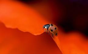 Picture colorful, flower, macro, orange, animal, petals, insect, Ladybug