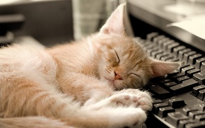 Picture cat, sleeping, keyboard