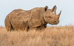 Picture nature, background, Rhino
