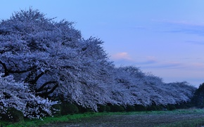 Wallpaper Japan, the evening, Sakura, japan, evening, sakura, cherry blossoms, Park in the Prefecture Kitakami, Kitakami ...