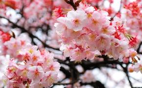 Picture branches, Sakura, blur, flowering